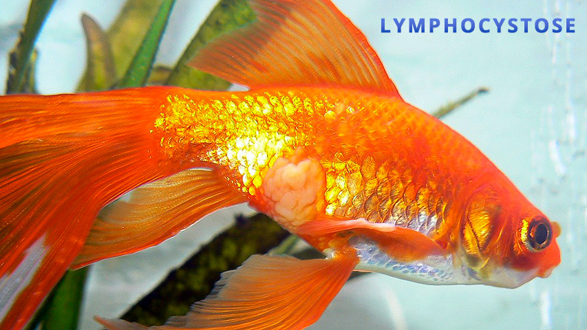 Maladie poisson rouge lymphocystose