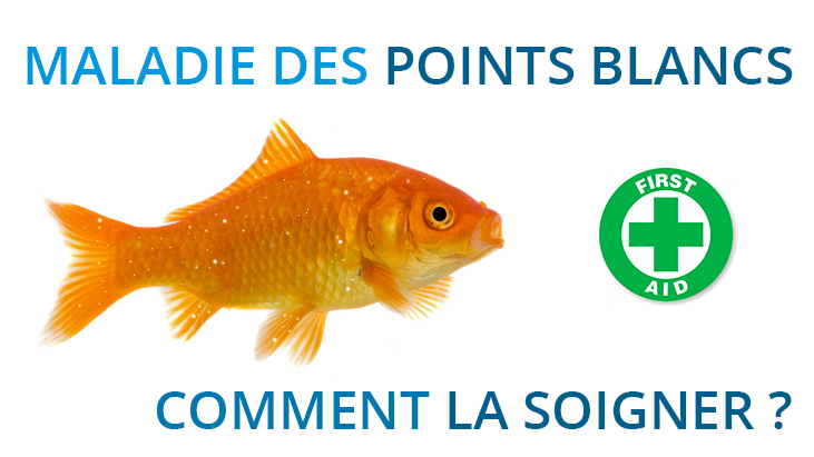 Poisson rouge la maladie des points blancs