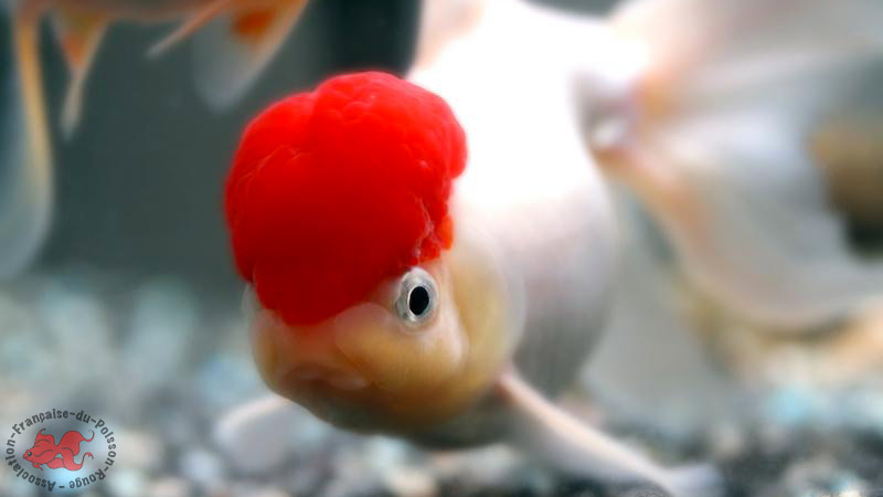 Le site du poisson rouge poisson rouge oranda for Ou placer aquarium poisson rouge